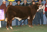 C-S GRAN TORINO 8172 as 2009 National Champion Hereford Bull