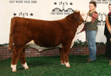 C Notice Me Now Nitro 9178 - Spring Bull Calf Champion in Reno, Denver, FW