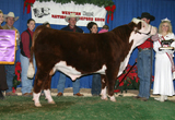 Maui Jim as 2006 Reno National Champion Polled Hereford Bull