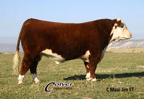 Polled Hereford Sire: C Maui Jim ET - Champion & Sire of