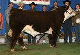 Nitro as 2008 Grand Champion Bull at Reno