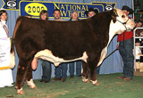 RENO as 2009 Res. Champion Bull at Denver.