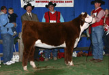C Miss Nitro 9152 - Res. Champion Polled Heifer at Reno
