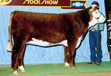 Pure Gold's dam, C MS Dom 93218, showing as a yearling heifer.