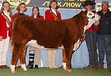 Notice Me Now as 2004 Champion Jr. Heifer in Denver.