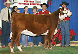 C Notice Me Too - Sister to NOTICE ME NOW as 2006 Grand Champion Hereford Female in Reno. She is owned with GKB Cattle Co. in Bardwell,TX.