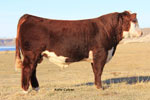 C R111 Mr Hereford 2111 ET - Click to enlarge