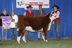 Reserve Champion Polled Heifer - Click to enlarge