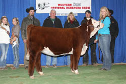 Reserve Champion Polled Bull - Click to enlarge