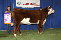 Reserve Champion Heifer - Junior Show - Click to enlarge