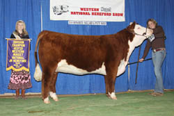 Reserve Junior Yearling Heifer - Click to enlarge