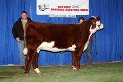 Reserve Horned Fall Heifer - Click to enlarge