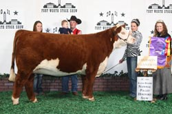 Champion Polled Intermediate Heifer - Click to enlarge