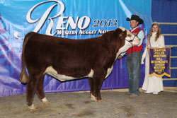 Champion Polled Intermediate Bull - Click to enlarge