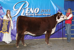 Champion Polled Senior Yearling Female - Click to enlarge
