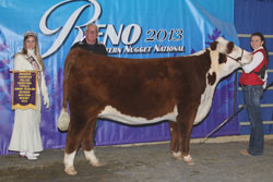 Reserve Champion Polled Junior Yearling Heifer - Click to enlarge