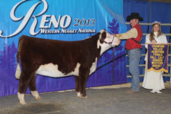 Champion Polled Fall Heifer Calf - Click to enlarge