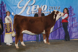 Res Champion Polled Jr Yearling Female - Click to enlarge