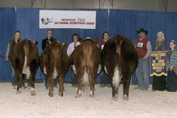 Champion Horned Junior Bull Calf - Click to enlarge