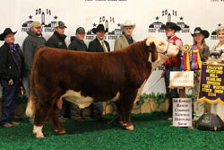 Grand Champion Hereford Bull - Click to enlarge