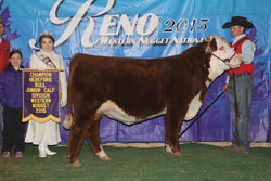 Champion Polled Junior Bull Calf - Click to enlarge