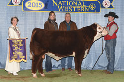 Junior Bull Calf Champion - Click to enlarge