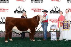 Res Champion Polled Junior Bull Calf - click to enlarge
